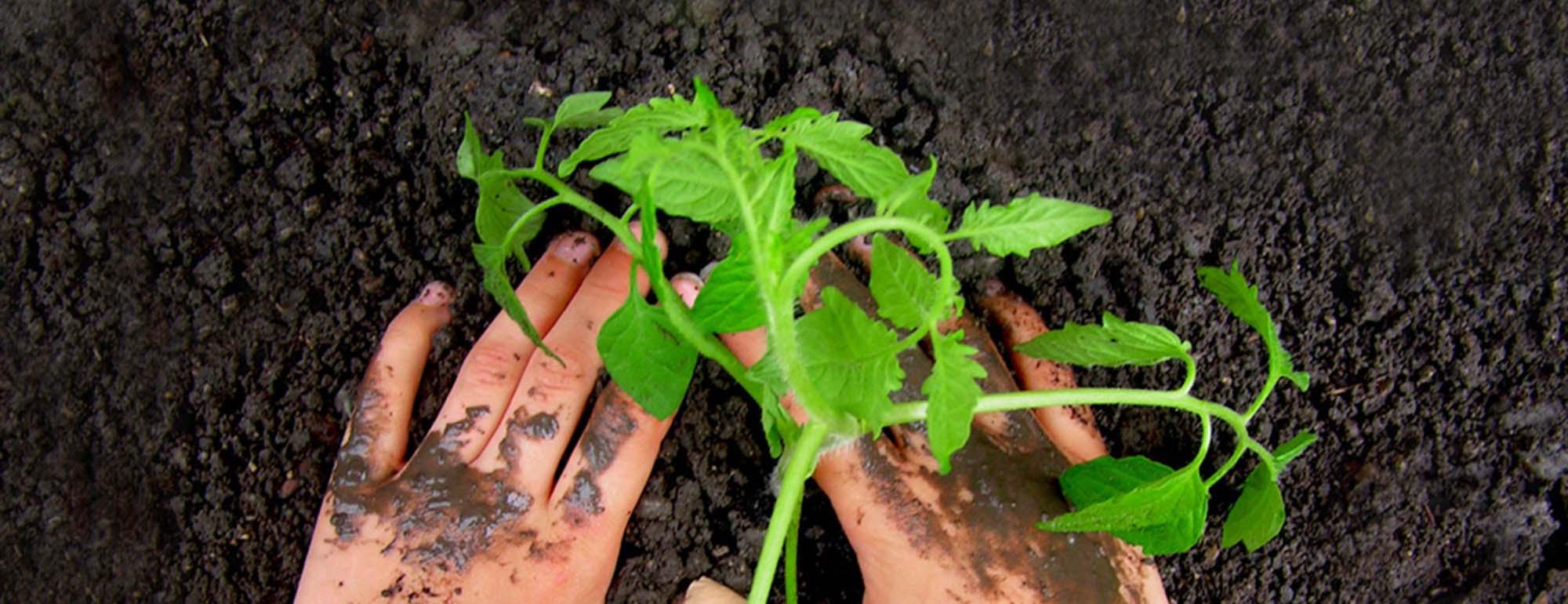 Gemüsesetzling